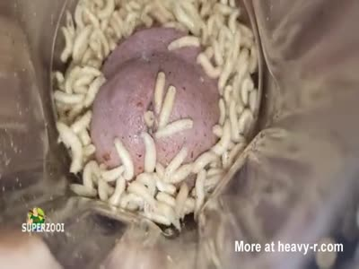 Mod Cock Attacked By Maggots
